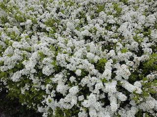 春の白い花ユキヤナギ(雪柳).jpg