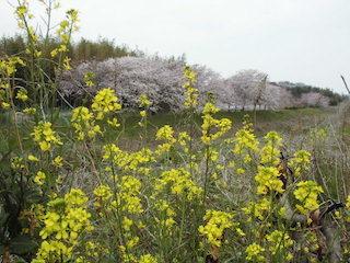 春の菜の花の黄色の花と桜
