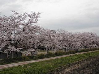 木流やなぎ公園の美しい桜並木.jpg
