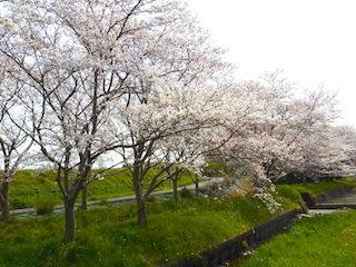 東近江市五個荘地区の桜並木.jpg
