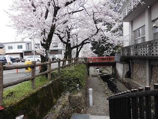 東近江市八日市の清水川の散策路と桜の名所.jpg