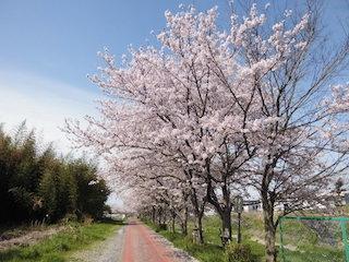 東近江市(五個荘地区)桜並木の名所.jpg