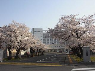 東近江総合医療センターの桜並木.jpg