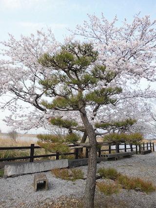 松と桜.jpg