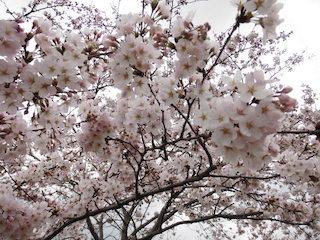桜と空色のコントラスト