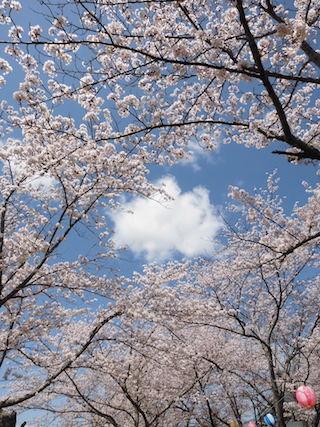 桜と青空と白い雲.jpg