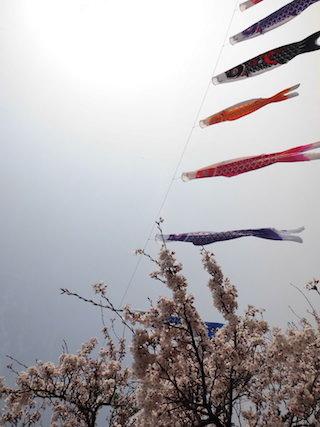 桜と鯉のぼり.jpg