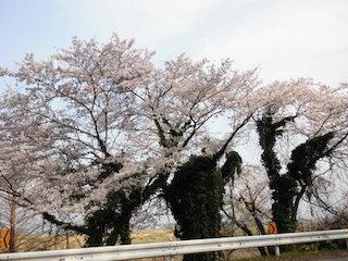 桜の木の幹に緑の葉が生い茂った曽根沼湖岸緑地公園.jpg