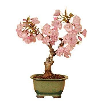 桜の盆栽.jpg
