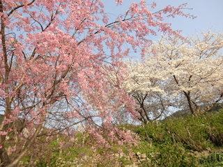 桜の種類(ソメイヨシノと山桜).jpg