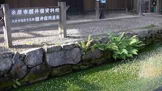 梅花藻.jpg