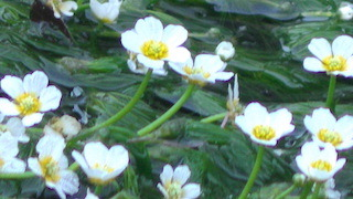 梅花藻の見頃.jpg