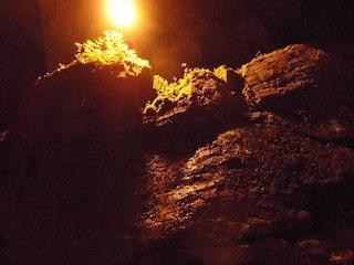 河内風穴の中で岩に付くコケ.jpg