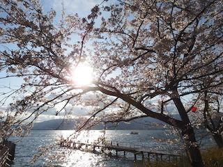 海津大崎の桜.jpg