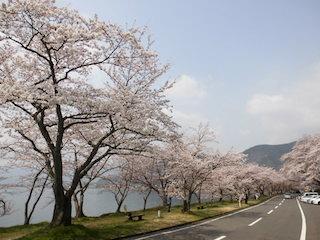 海津大崎の桜並木.jpg