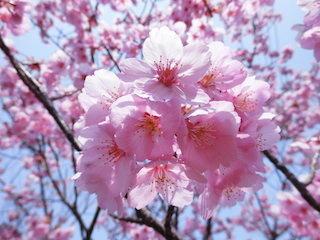 淡いピンク色の美しい桜の花びら.jpg