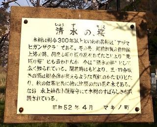 清水の桜.jpg