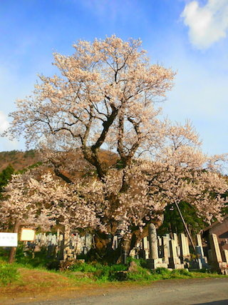 清水の桜は巨桜.jpg