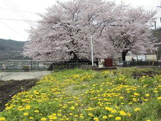 満開の大きな桜と菜の花.jpg