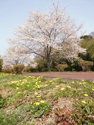 満開の桜と黄色の春の花.jpg