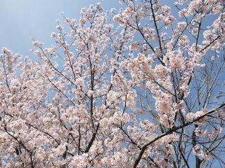 満開の桜の花びら.jpg