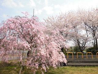 滋賀県五個荘のソメイヨシノとシダレ桜.jpg