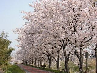 滋賀県東近江市五個荘地区の桜並木.jpg
