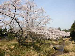 滋賀県東近江市南須田町の須田川に沿いの桜並木.jpg