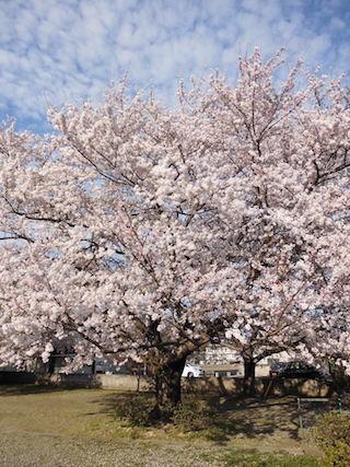 滋賀県東近江市小脇町にある蛭子神社跡の巨桜.jpg