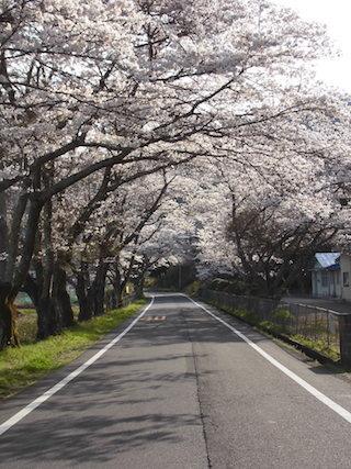 滋賀県東近江市建部瓦屋寺町の桜トンネル.jpg