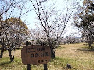 滋賀県湖南市にごり池自然公園の桜.jpg