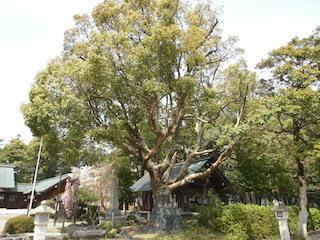 滋賀県護国神社御神木のクスノキ.jpg