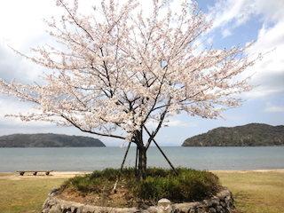 滋賀県近江八幡市の宮ケ浜の桜の木.jpg