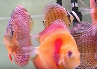 熱帯魚のレッドゴールドダイヤモンドとレッドスパイダースネーク.jpg