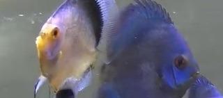 熱帯魚ブルーダイヤモンドとオーシャングリーン.jpg