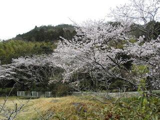 猪子山公園の桜スポット.jpg
