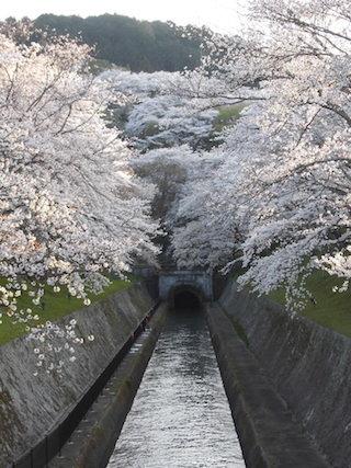 琵琶湖疏水の桜は見頃で満開.jpg