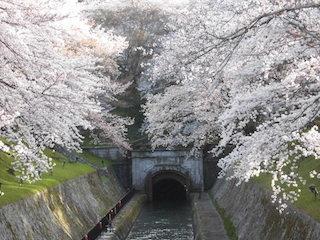 琵琶湖疏水トンネルの桜.jpg