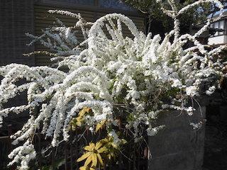 生命力のある白い花.jpg