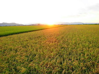 田園風景の稲穂と夕日.jpg