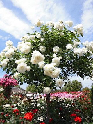 白い薔薇の花.jpg