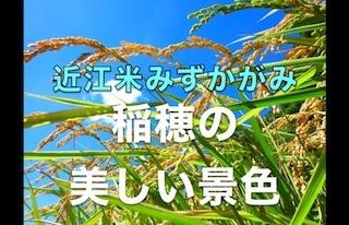 稲穂の美しい景色(近江米みずかがみ).jpg