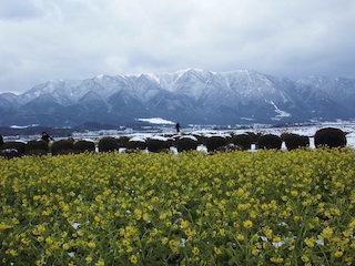 第1なぎさ公園の菜の花の冬景色.jpg
