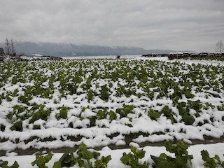 第1なぎさ公園の菜の花の冬景色(開花前)002.jpg