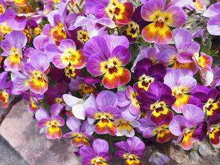 紫色と黄色のパンジー.jpg