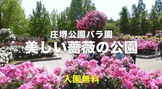 美しい薔薇の花の公園(関西・滋賀の庄堺公園バラ園).jpg