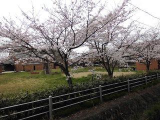 能登川図書館・能登川博物館と桜