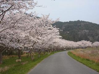 荒神山公園の桜.jpg
