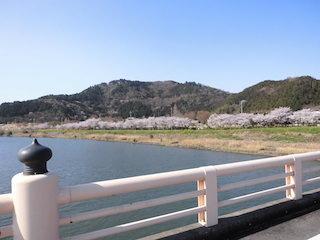 荒神山公園(滋賀県彦根市)の桜並木は滋賀の桜名所.jpg