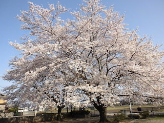 蛭子神社跡の一本桜は滋賀県の大桜.jpg